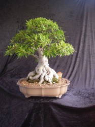 Willow Leaf Ficus50 cm High