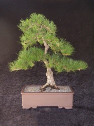 Red Pine75 cm High