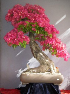 Bougainvillea approx 30 yrs old