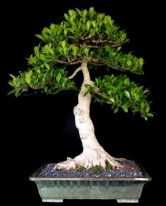 Ficus Kinman Informal upright style H 68cm