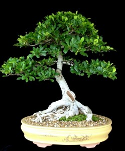 Ficus NatalensisInformal upright style H 71cm