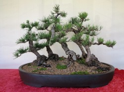 JAPANESE BLACK PINE FOREST.90 cm long 70 cm high Youngest tree is 20 years old up to 28 years old. Created from existing Bonsai stock in April 2014.